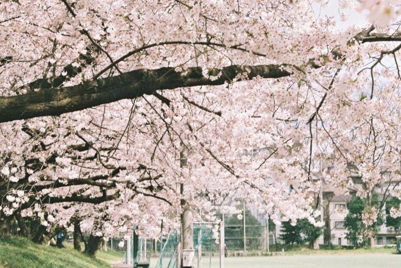 【駒場】UmeeTカメラマンによる桜写真集【本郷】